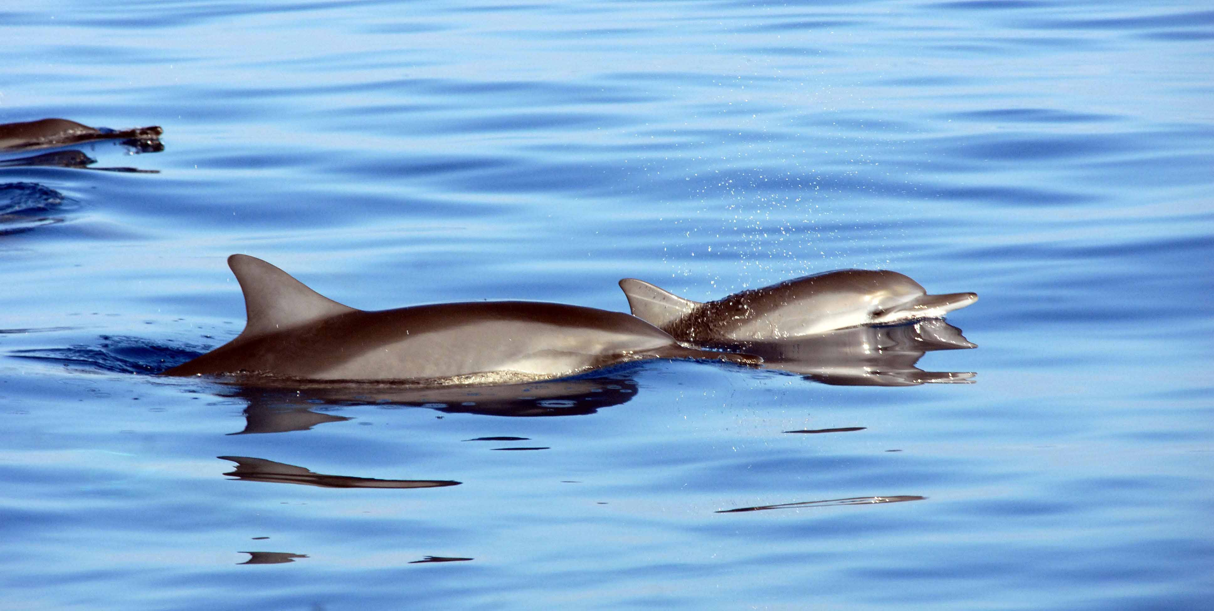 vecteezy-two-dolphins-breaking-the-waters-surface-2805968-1.jpg